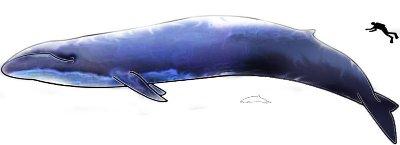 Blue_Whale.jpg