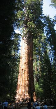 Redwood_large_sherman.jpg